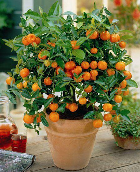 Вирощування апельсина в домашніх умовах