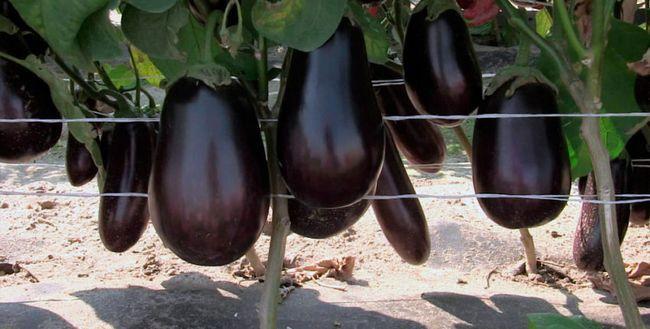 Вирощування баклажанів в відкритому грунті в підмосков`ї