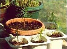 Вирощування бонсай з насіння