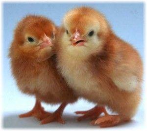 Вирощування курчат бройлерів