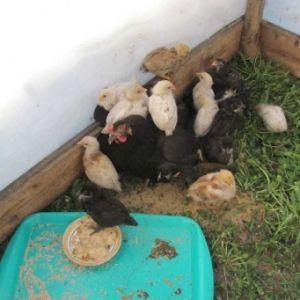 Вирощування курчат з квочкою від а до я