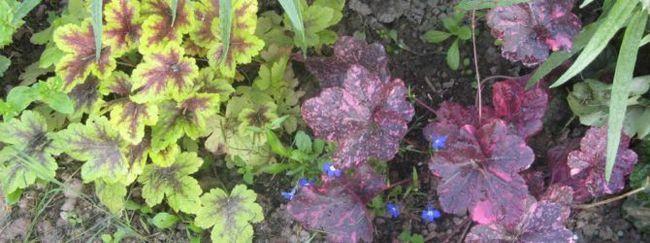 Вирощування гейхери з насіння