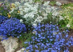 Вирощування міцної розсади лобелії для саду