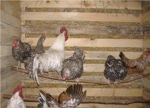 Чи потрібен в курнику півень