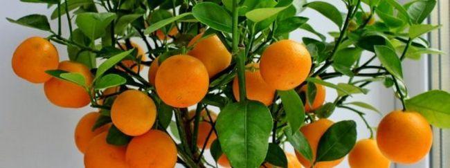 Вирощування мандарина з кісточки в домашніх умовах