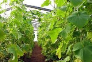 Вирощування огірків в теплицях на відео