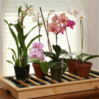 Вирощування орхідеї