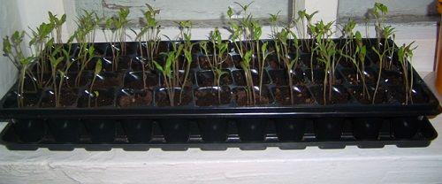 Вирощування перцю в домашніх умовах