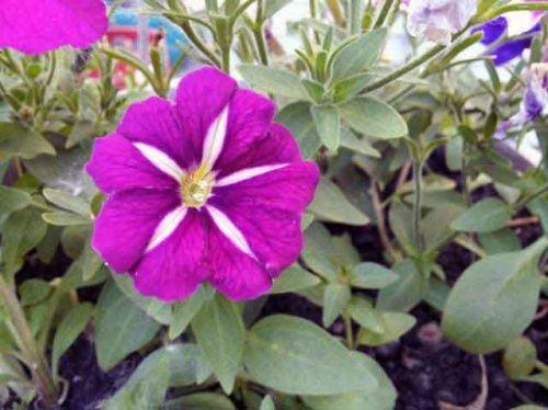 Вирощування петунії з насіння