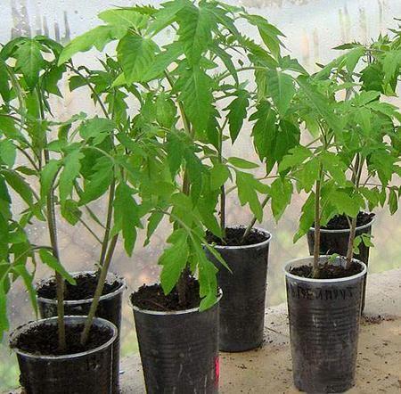 Вирощування розсади томатів на балконі