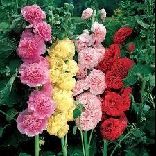 Вирощування троянди шток
