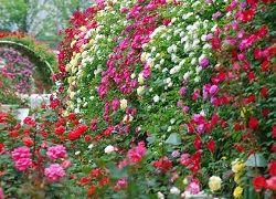 Вирощування садових троянд на дачі