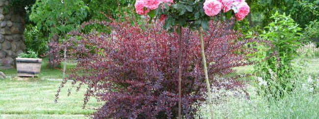 Вирощування штамбових троянд