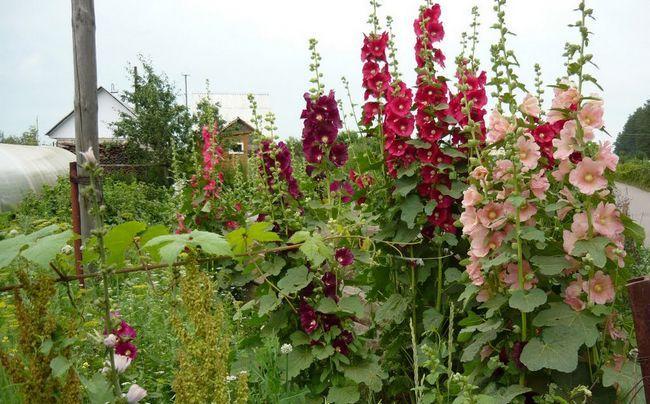 Вирощування штокрози у відкритому грунті з насіння і саджанців