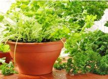 Вирощування свіжих трав на підвіконні
