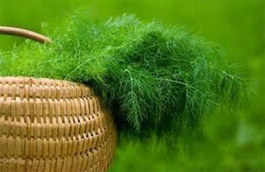 Вирощування кропу і петрушки на ділянці і підвіконні