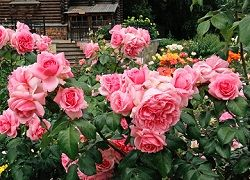 троянда флорибунда