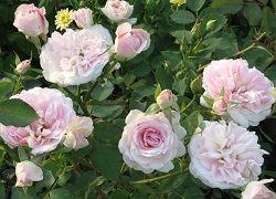 троянда Карт Бланш