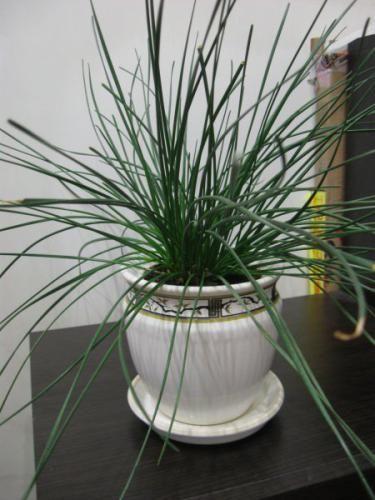 Вирощувати декоративні кімнатні рослини - давня традиція