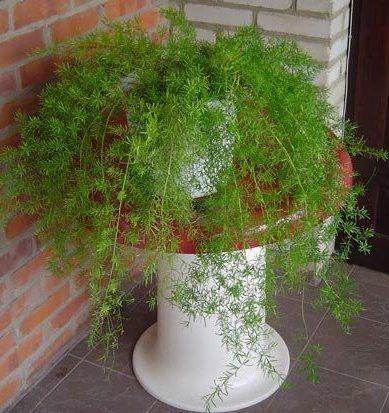 Виростимо аспарагус з насіння