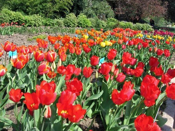 Виставка тюльпанів у нікітському ботанічному саду (крим