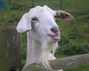 Зааненская порода кіз: особливості та відмінності