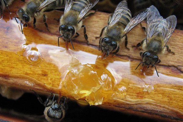 Навіщо потрібна весняна підгодівля бджіл