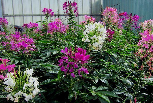 Загадкова і незвичайна клеома колючий легко чи вирощується будинку з насіння