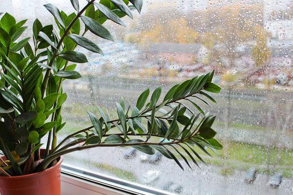 Замиокулькас на вікні