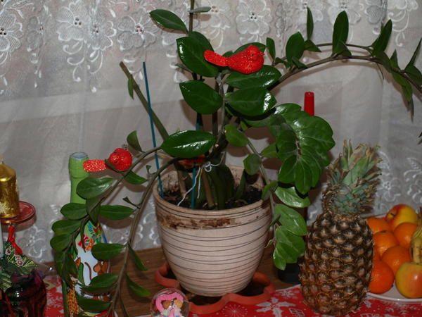 святковий замиокулькас