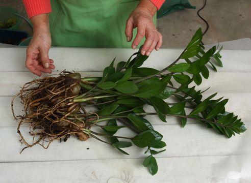 Пересадка заміокулькаса. Очищення коренів і бульб від старого грунту.