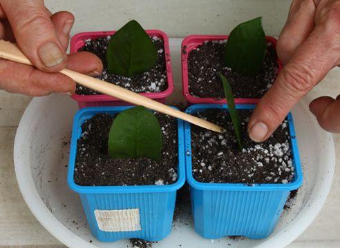 Розмноження заміокулькаса живцюванням. Посадка листочків.