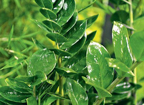 Від пилу глянцеві листя заміокулькаса очищають вологою губкою.