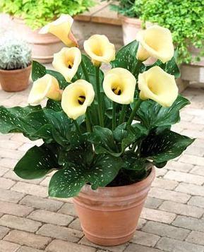 Зантедескія - незвичайні забарвлення квітки