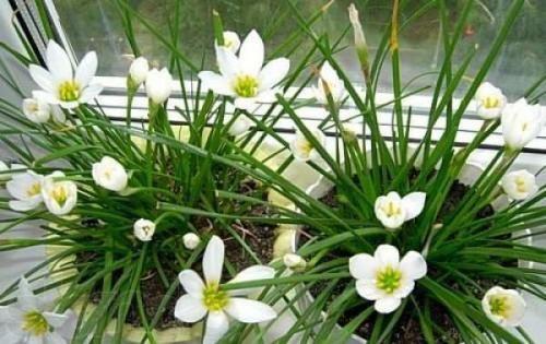 Зефирантес і догляд за ним: особливості поливу, підгодівлі і пересадки рослини