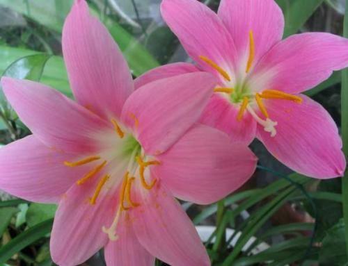 Зефирантес рожевий. Особливості вирощування