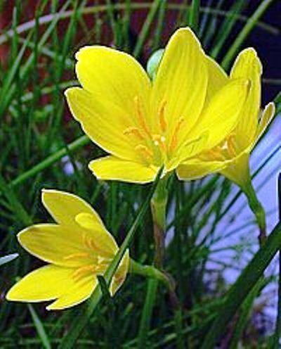 Зефирантес жовтий - що слід знати