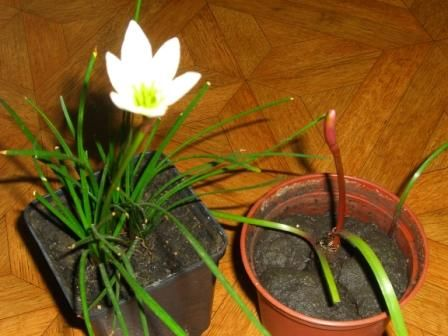Зефірантес або квіти зефіру