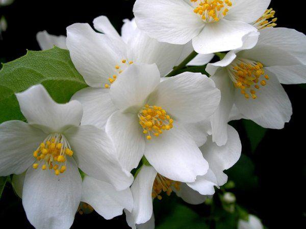 Жасмин білий