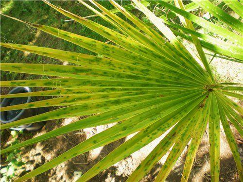 Жовтіє пальма. Причина і наслідок