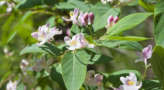Цвітіння жимолості, фото