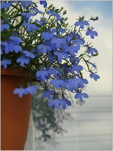 Живе прикраса балкона - лобелія каскадний