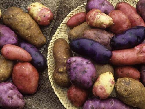 Жовтий, червоний, фіолетовий картопля - краса в городі і на столі