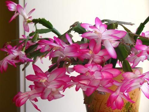 Зігокактус - квітучий красунь в квітнику