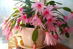 Зігокактус або незвичайний квітка декабрист