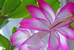 квітка декабрист