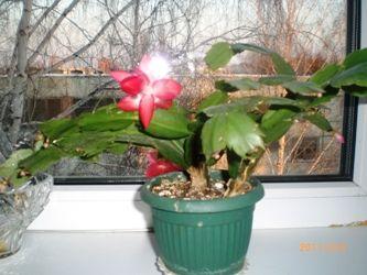 Зігокактус, він же декабрист - прекрасні квіти серед зими