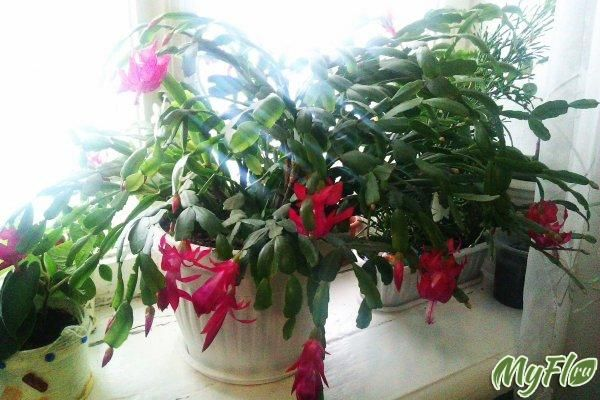 Зимове цвітіння (що у вас зараз цвіте?