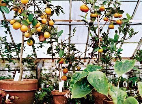 Плодовий зимовий сад