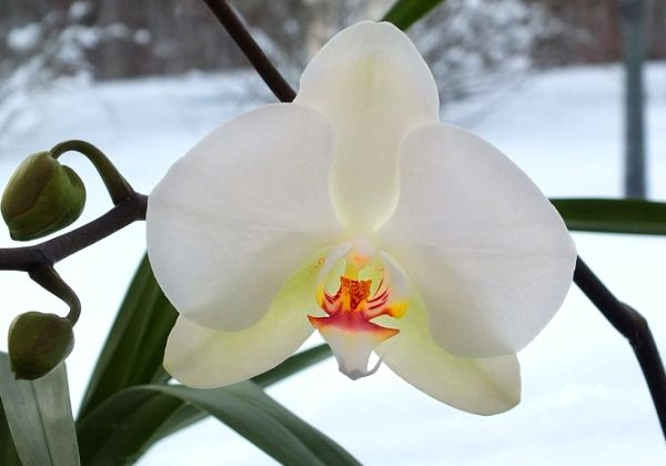 орхідея цвіте взимку